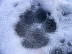 psia-lapa-na-sniegu