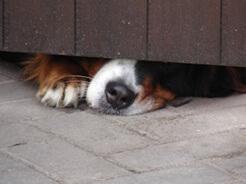 wystraszony pies